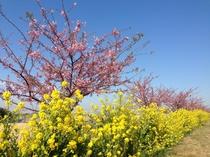 春・免々田川『菜の花&桜まつり』ピンクと黄色のコントラストをお楽しみください。