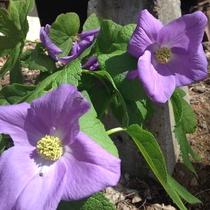 *[春]庭の高山植物・シラネアオイ/例年5月頃が見頃
