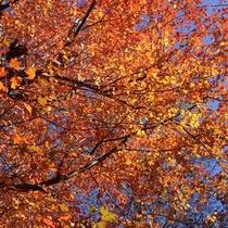 *[秋]当館周辺の紅葉(かえで)/例年10月頃が見頃