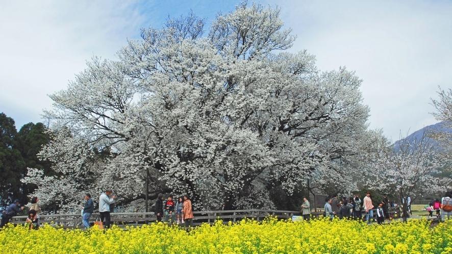 ★一心行の大桜