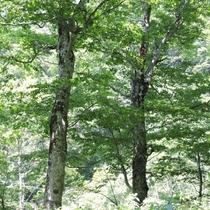 宿の周りに広がるブナの原生林。まさに大自然の中に佇む宿。部屋や館内から四季折々に移り変わる景色を