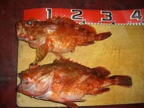 採りたての地魚(かさご)煮付けにお刺身に!