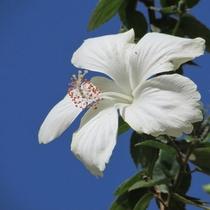 パナシアを彩る、南の島の花木。-ハイビスカス-