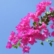 パナシアを彩る、南の島の花木。-ブーゲンビレア-