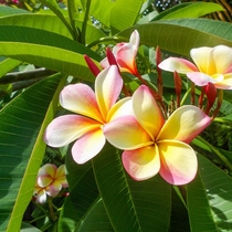 パナシアを彩る、南の島の花木。-プルメリア-