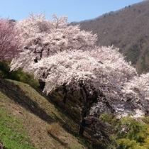 芦ノ牧温泉の桜1