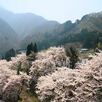 芦ノ牧温泉の桜2