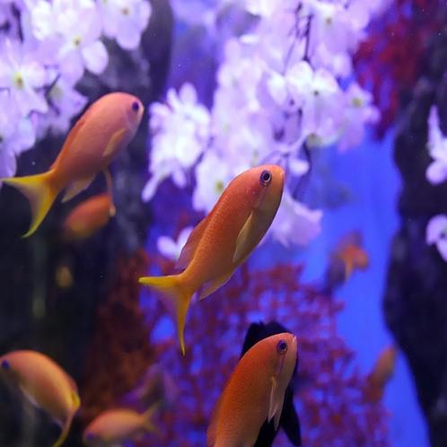 下田海中水族館 キンギョハナダイ