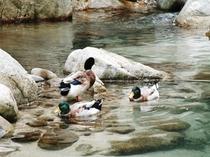 水辺を泳ぐ鴨 大浴場より