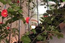 ロビーに咲く椿