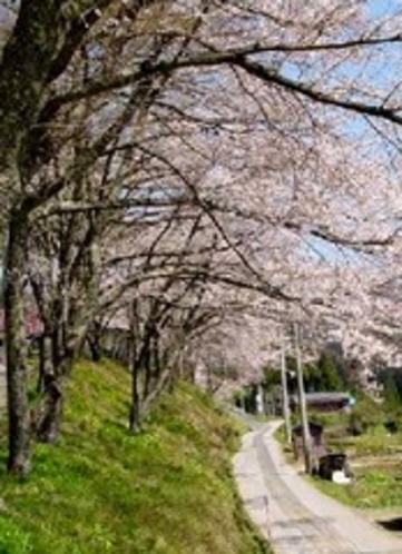 己高閣の桜並木