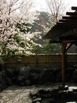 露天風呂春の桜