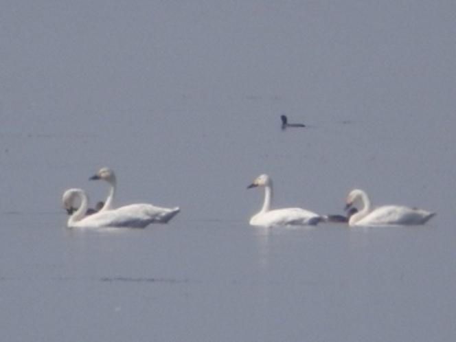 琵琶湖の野鳥