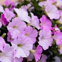 玄関前のお出迎えのお花