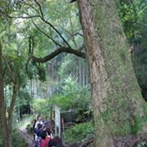 白山神社のモミ