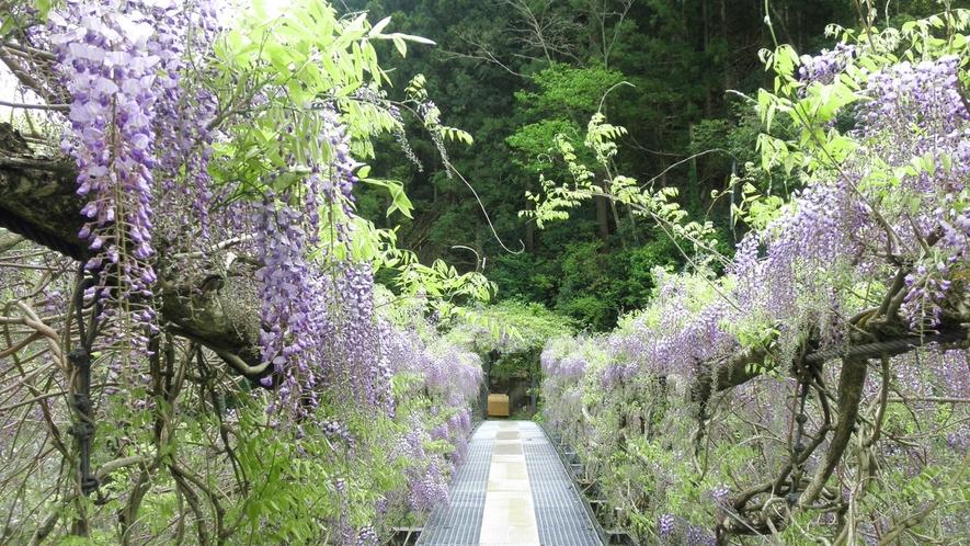 *【ふじかずら橋】薄紫色がとても美しい。見頃をむかえた当館横のふじかずら橋。