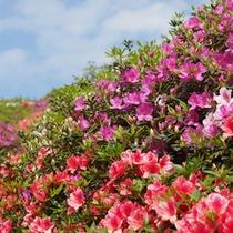 *【つつじ】色鮮やかなつつじの花々をぜひご覧下さいませ。