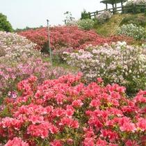 *【つつじ】彩り豊かなつつじの花々を、ぜひこの機会にご覧下さい。