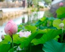 寺町 ハスの花