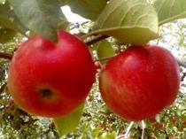 小諸の秋の味覚りんご