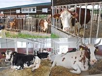 【ハイジ牧場】いろんな種類の牛が間近に見ることができますよ♪