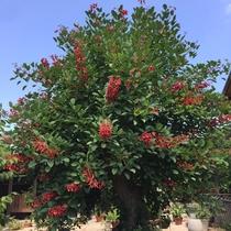 「はなわらび」のシンボルツリー・でいごの木★