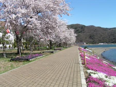 湖畔の桜と芝桜