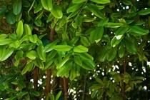 フクギ科フクギ族 常緑の高木です