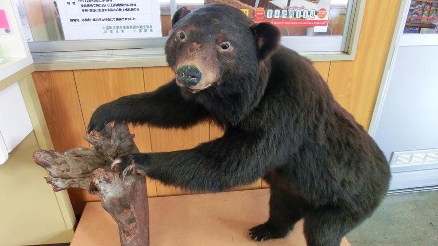 【熊のはく製】マタギ文化を継承する小国町