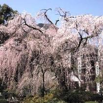 *身延町内には桜の名所が多数あります。