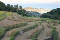 稲刈り後の掛け干し風景