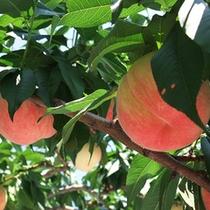 *【果物】周辺には果樹園も多数あります!お気軽にお声かけ下さい!