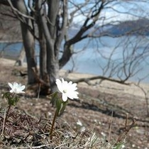 【春】雪解けの湖畔に芽吹いた小さな花。春の陽気を浴びて美しく咲く。