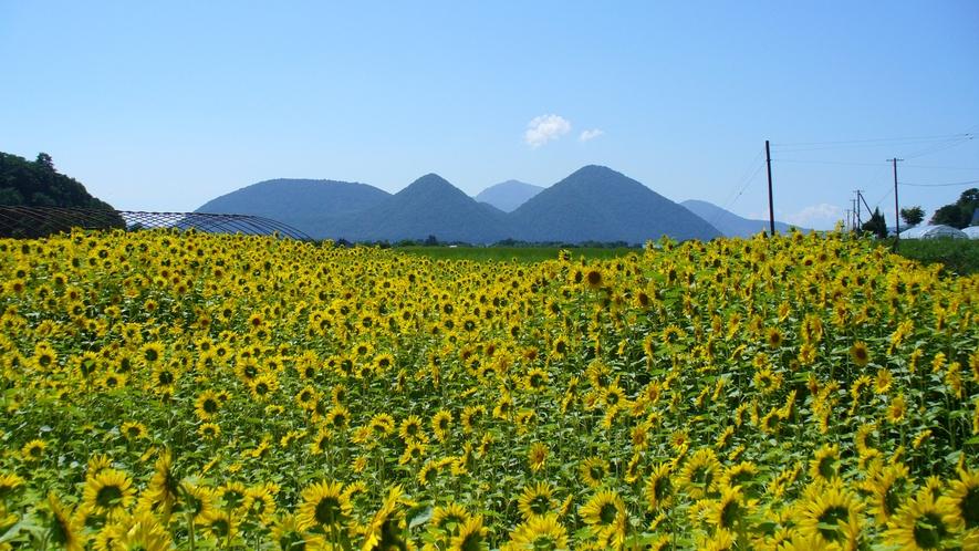 【夏】洞爺湖周辺に黄色いじゅうたんのように広がるひまわり畑は、夏を感じさせる風景。