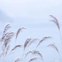 【冬】雪化粧の穂がさらさらと揺れる。