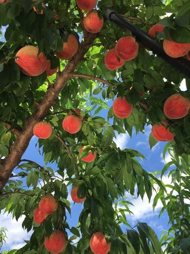 果物狩り(桃)