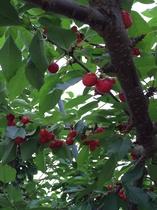 果物狩り(さくらんぼ)