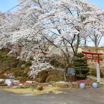 *【孫八神社】桜の木と鳥居