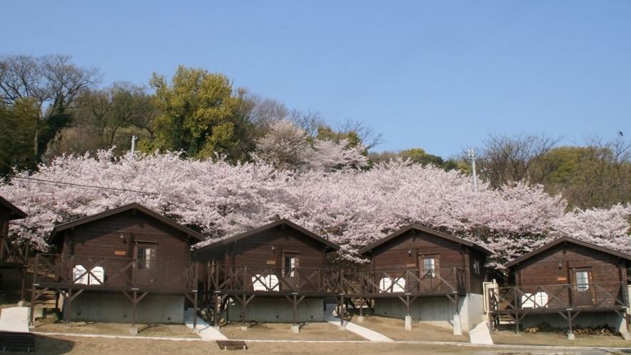 キャビンと桜