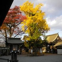 阿蘇神社の大イチョウ・紅葉(11月)
