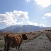 あか牛の放牧風景