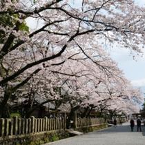【阿蘇神社の桜】