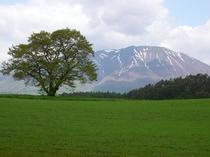 2008小岩井一本桜