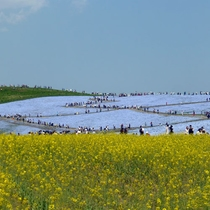 *周辺観光【国営ひたち海浜公園】当館より車で約20分。花と緑に囲まれた茨城県を代表する観光スポット
