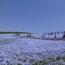 *周辺観光【国営ひたち海浜公園】春の風物詩:ネモフィラ。みはらしの丘一面に広がる絶景の青いお花畑。