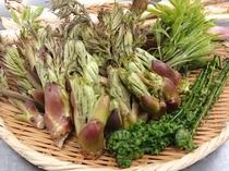名人が採る春の山菜は美味