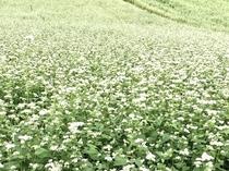 高原の蕎麦の地で咲き誇る蕎麦の花