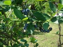 当地でも青い宝石「ブルーベリー収穫体験」ができます!