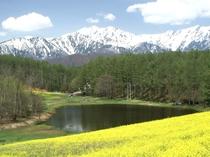 中山高原の菜の花畑 一面に黄色の可愛い花たち咲き誇ります♪