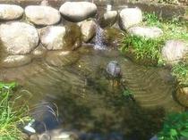 庭の池。ニジマス、ヤマメ、アマゴ。釣りもできます。